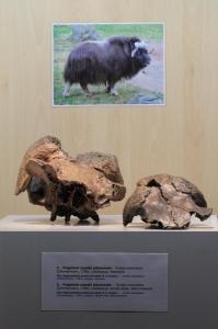 3. Wielkie ssaki epoki lodowcowej. Fot. D. Nast
