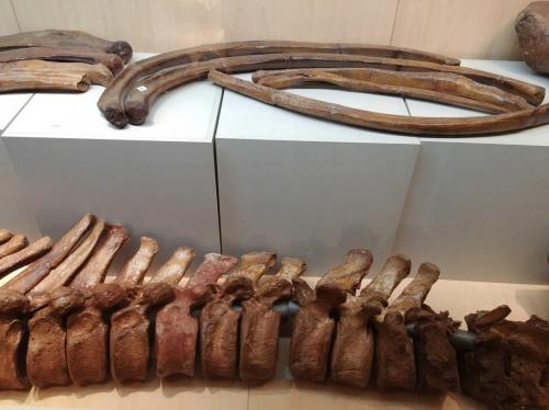 Żebra i fragment kręgosłupa. Fot. R. Szczęsny