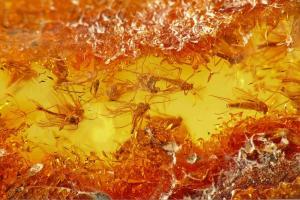 6. Diptera, Chironomidae. Fot. Aleksander Chmiel