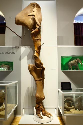 Przednia kończyna słonia leśnego prezentowana na wystawie w PAN Muzeum Ziemi. Fot. D. Nast