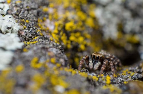 Pseudeuophrys erratica Fot. Krzysztof Maliszewski