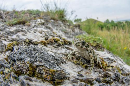 Ropucha zielona Fot. Krzysztof Maliszewski