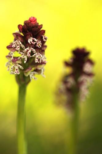 Storczyk drobnokwiatowy Fot. Darek Nast